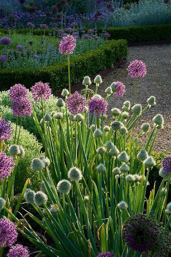 113 Best Allium Allium Allium Images On Pinterest Nature