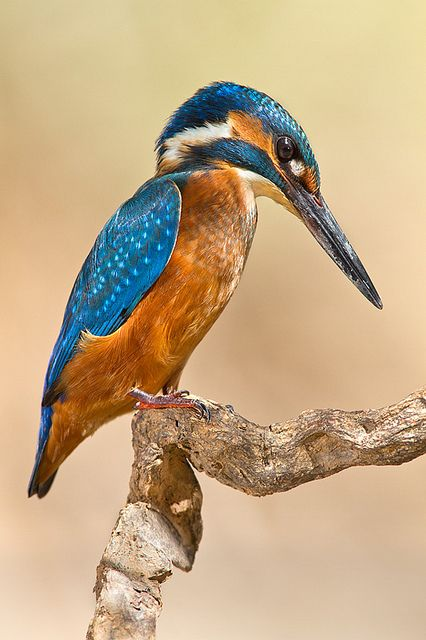 Kingfisher - ©Alejiga (Alejandro Jimenez) - www.flickr.com/photos/alejandrojimenezgarrido/7711554644/in/photostream