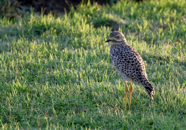 Spotted this Spotted Dikkop late afternoon - null