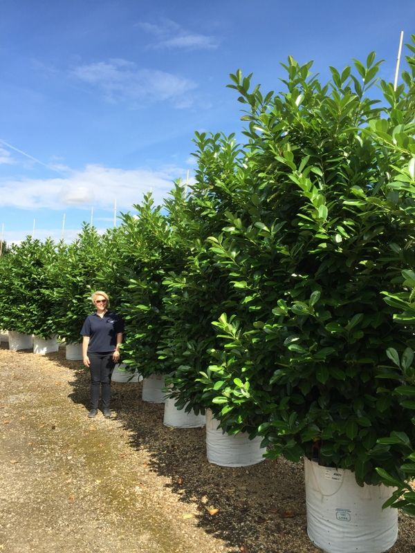Cherry Laurel Bush, Common Cherry Laurel, Laurel - Barcham Trees