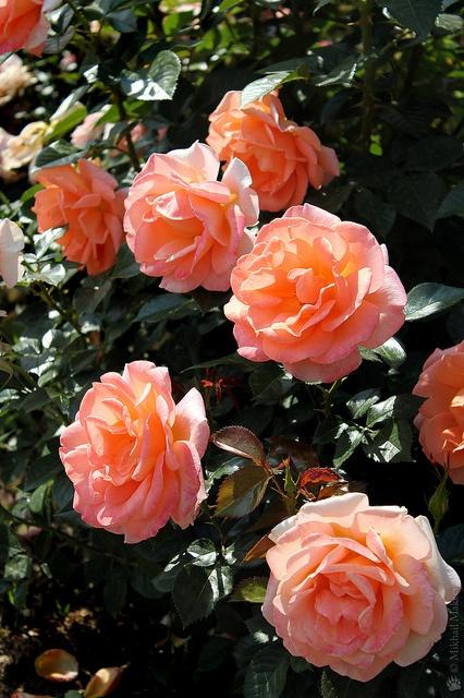 Rose Atlantic Star | Flickr - Photo Sharing!