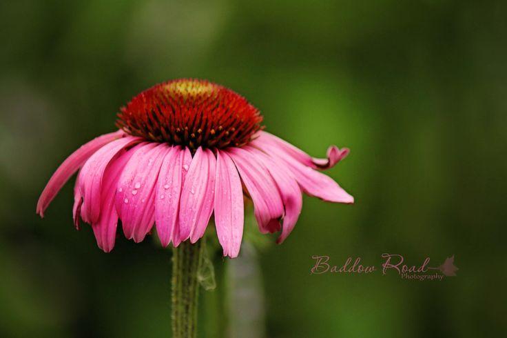 Many Beautiful Gardens in Town   #FenelonFalls #KawarthaLakes #BaddowRoadPhotography