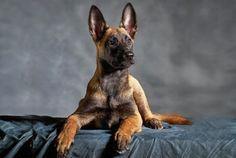 303 chien de race berger belge malinois