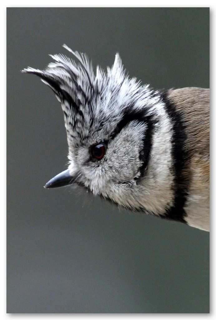European Crested Tit