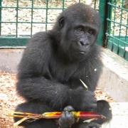 A double great ape rescue from Equatorial Guinea - meet Afangui the gorilla and Shakira the chimp  http://www.apeactionafrica.org/what-we-do/news.html