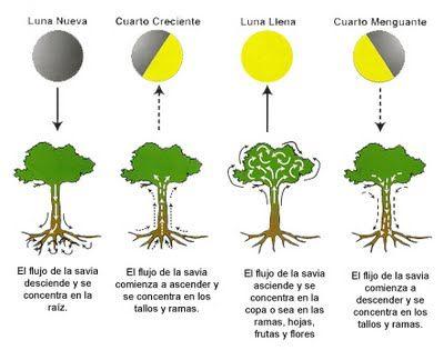 DE TODO UN POCO: La influencia de la Luna en las plantas.