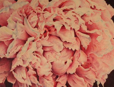 Colored Pencil Drawing of a Peony by Joanne Abbott