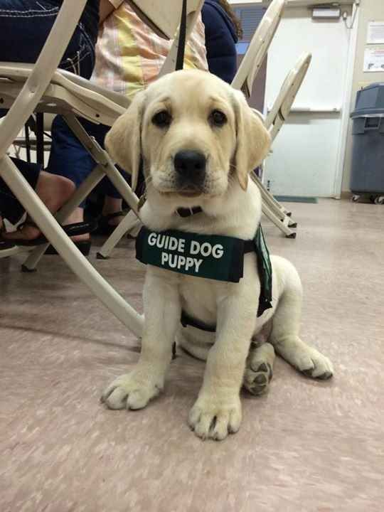 This guide dog puppy who knows you're never too small to start giving back.