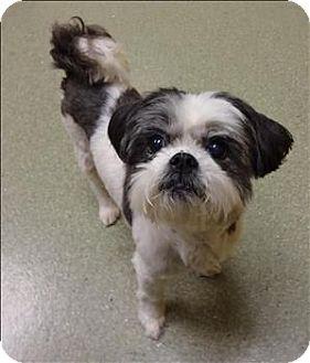 Vancouver washington, Shih tzu and Dogs for adoption on
