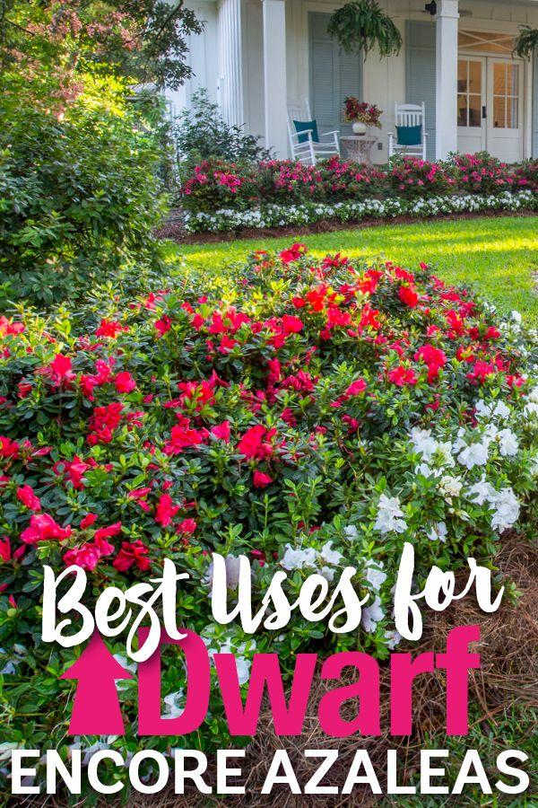 10 Best Uses For Encore Azaleas By Size Azaleas Landscaping Azaleas Garden Dwarf Azaleas
