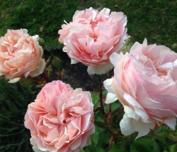 rosa princesa charlene de monaco arbusto
