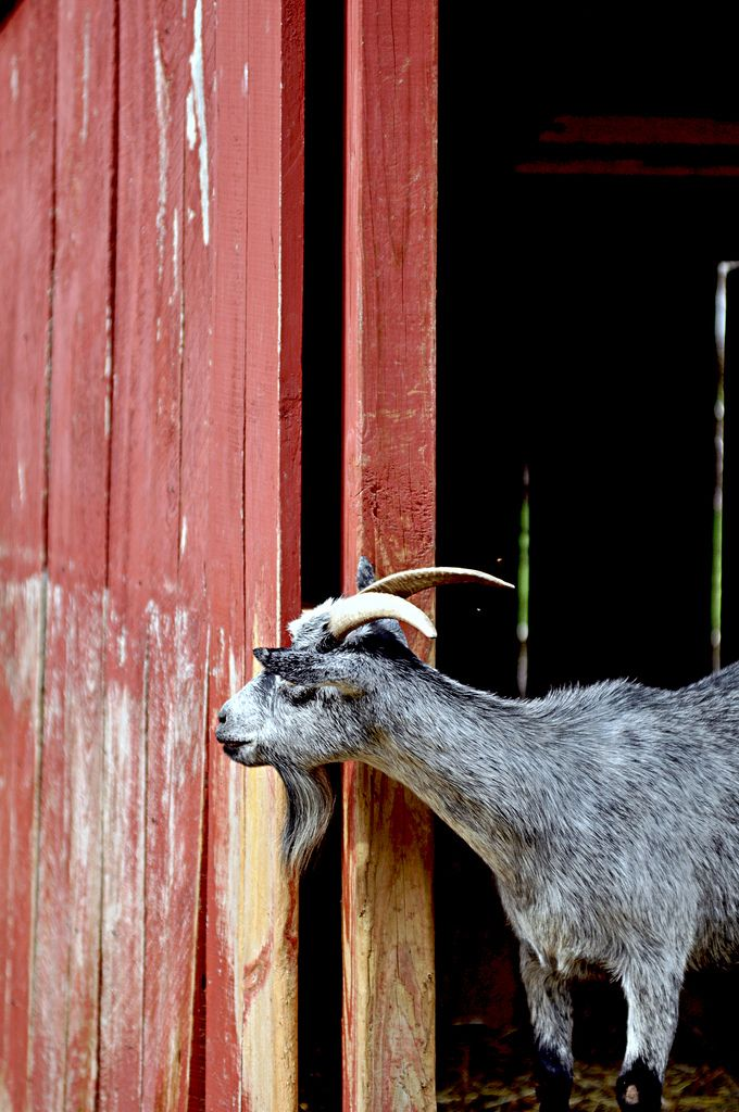 how to help a constipated baby goat