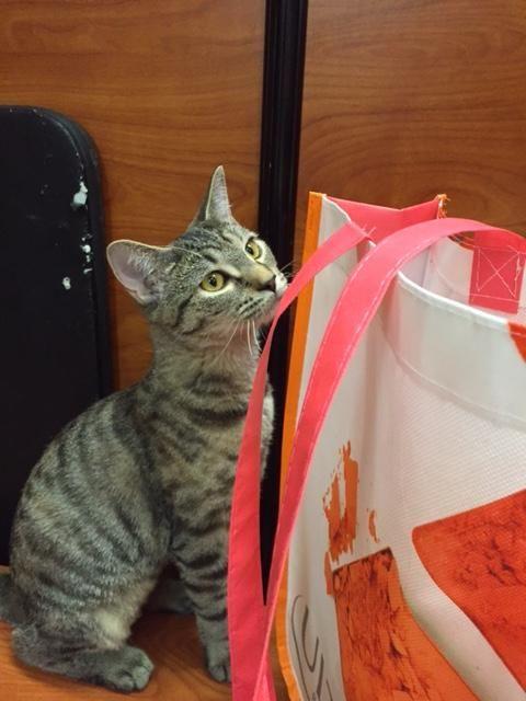 Persian Cat Rescue Dc