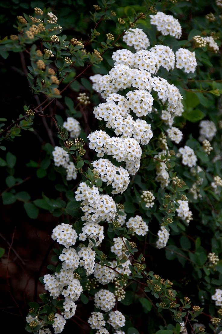 Bridal Wreath Spirea Lovely And Rather Old Fashioned