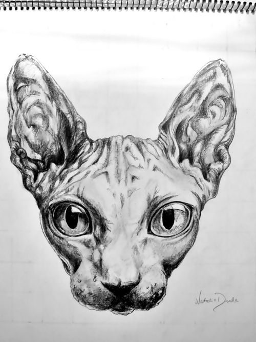 sphynx cat drawing wow!!!