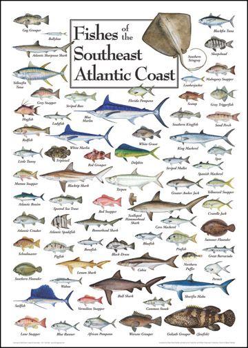 Best 20 fish chart ideas on pinterest fishing for South carolina fish species
