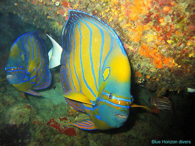 Angel fish at Sail Rock with Blue Horizon diving and adventures, Haad Yao, Phangan, Thailand