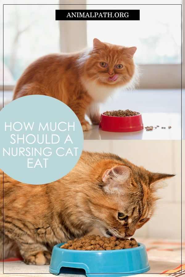 How Much Should A Nursing Cat Eat Cats Cat Care Tips Kitten Food
