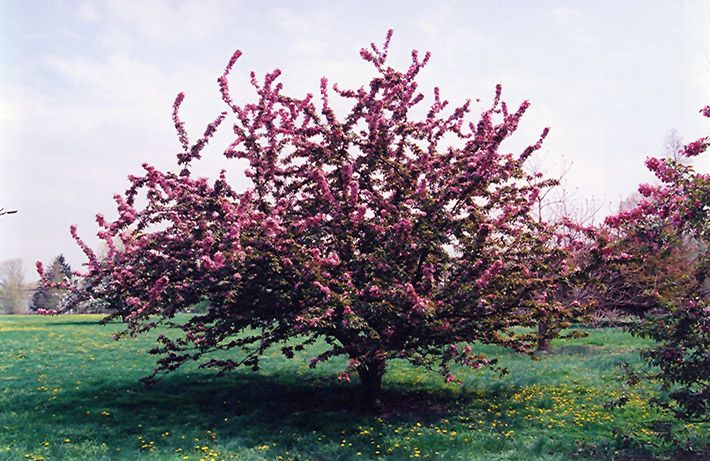 17 Best Images About Malus On Pinterest Summary White Flowers And Soil Type