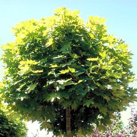 Erable plane 'Globosum' - Plantes et Jardins