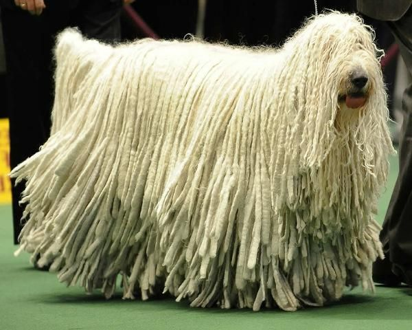 komondor dog.                                                                                                      It looks like a mop!! Lol!!