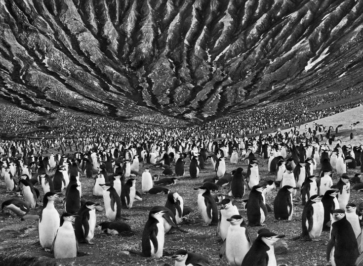 Sebastião Salgado genesis penguins  ~ I love how this picture tricks the eye.....is that the foot of a hill in the background? Or is there a strange, low, ceiling above the penguins?~