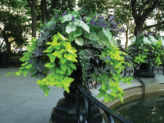 """""""recipe"""" for container combos: Choose a filler (salvia filling the middle) a spiller (sweet potato vines dangling down, the farther the better), and a thriller (caladium, standing tall).Container Gardens, Colors Combos, White Bacopa, Black Urns, Sweets Potatoes Vines, Plants Ideas, Ipomoea Sweets, Front Porches, Purple Angelonia"""