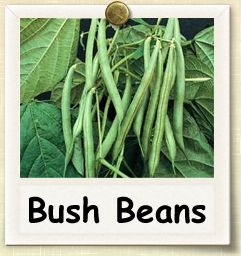 How to Grow Bush Beans | Guide to Growing Bush Beans