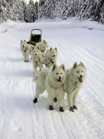 """NEAT Blog - You'll Learn abt Siberian Huskies, Malamutes, & other breeds - ALSO what is Required to Be a """"SLED Dog"""" .. #SledDogs #Breeds"""