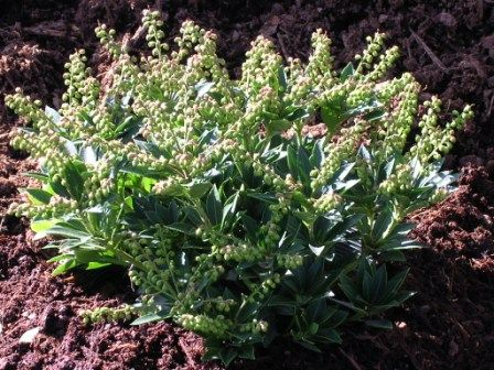 Pieris Japonica Prelude Small Evergreen Shrub 23 t