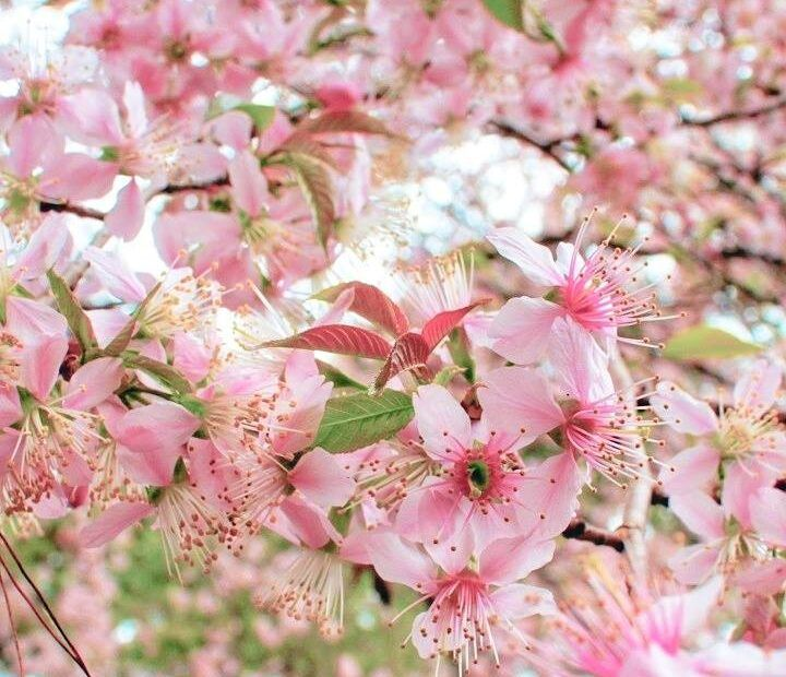 Did You Know India Is The Only Country Where Cherry Blossoms Bloom In The Autumn Season Pinaqin In 2021 Cherry Blossom Blossom Bloom