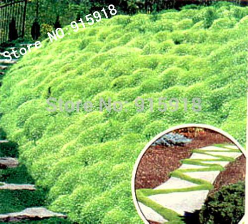 Herniaria Glabra Seeds 200pcs GREEN CARPET Ground Cover, Grow in poor soil and gravel in your garden! #>=#>=#>=#>=#> Click on the pin to check out discount price, color, size, shipping, etc. Save and like it!