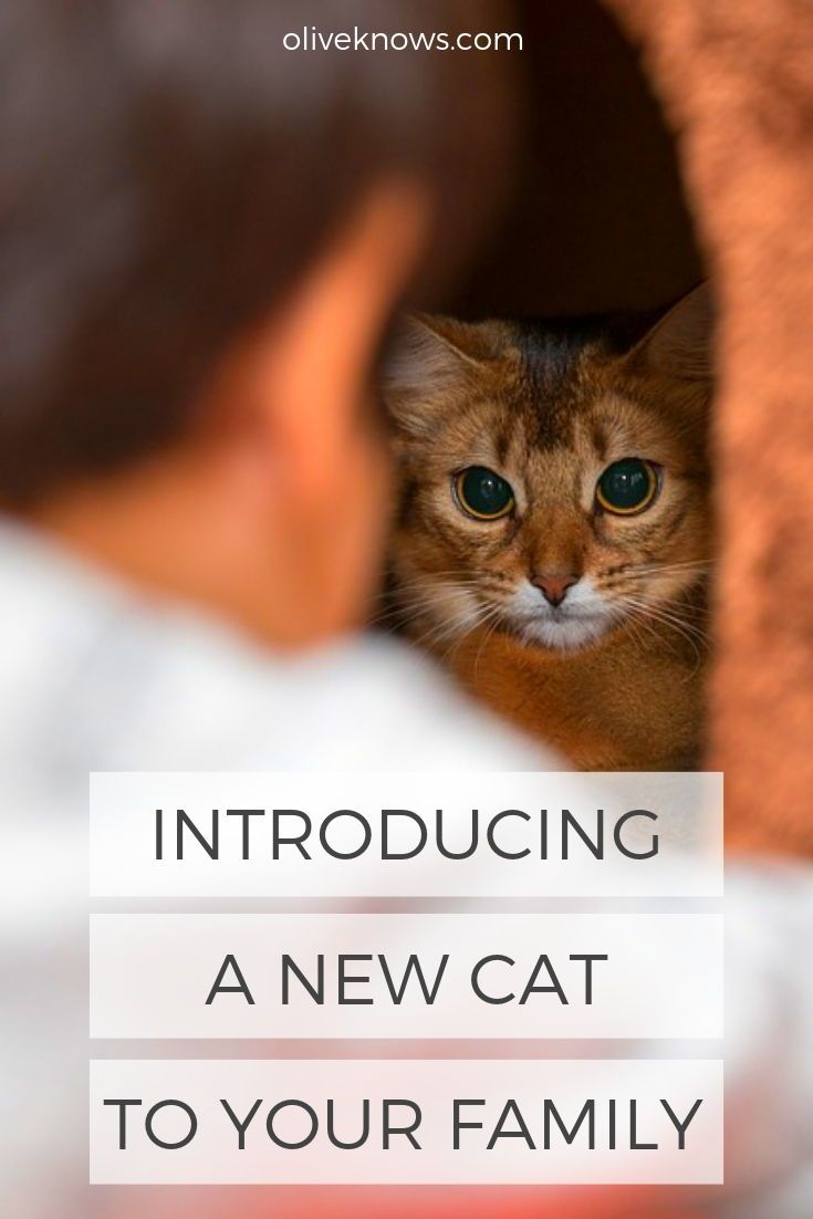 Introducing A New Cat To Your Family Oliveknows Introducing A New Cat Raising Kittens Kitten Care