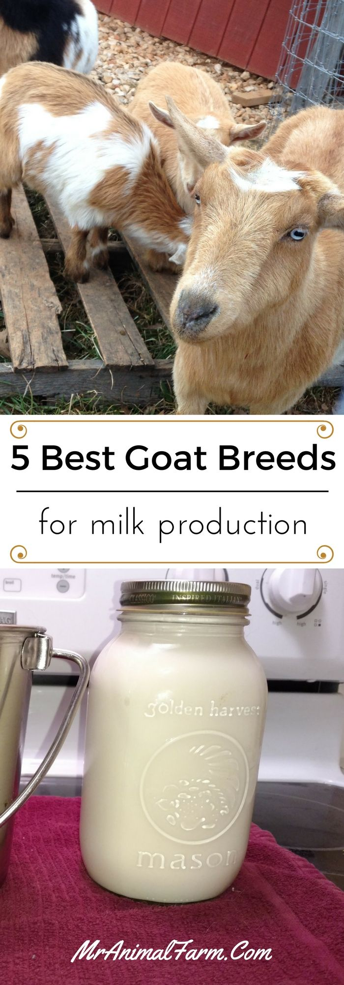 If you are looking for a goat with top milk production, you need to check out these best dairy goat breeds.