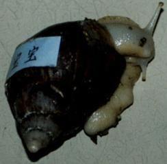 l'escargot . cycle 1 Fondation  la main à la pâte  Séance 1  Quelles sont les caractéristiques externes de l'escargot ?  Séance 2  Où aimerait habiter l'escargot ?  Séance 3  Qu'aimerait manger l'escargot?  Séance 4  La couleur des excréments de l'escargot dépend-elle de celle ses aliments   Séance 5 Que sont ces grains blancs ?