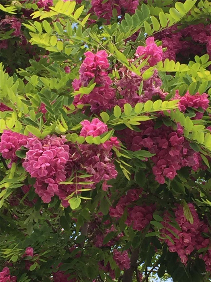 17 mejores ideas sobre arboles ornamentales en pinterest - Arbustos ornamentales de jardin ...