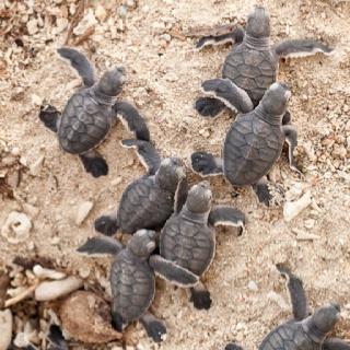 Baby turtles Pulau Selingan, Sabah Borneo (Maleisie)