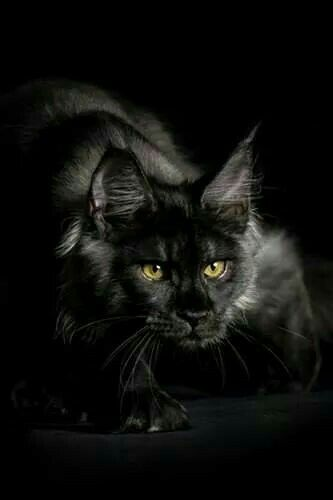 Black Smoke Maine Coon Cat                                                                                                                                                      More