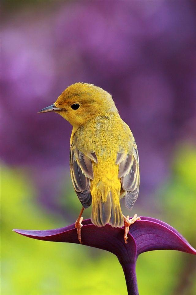 鳥、紫の葉 iPhoneの壁紙   640x960 iPhone 4 (4S) 壁紙ダウンロード   JA.iWALL365.com