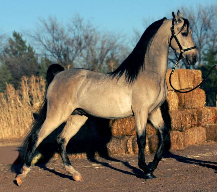 American Saddlebred - Pantheon - A showstopping rare grulla ASB stallion... with a double hinge... and a stride that could leave you breathless..