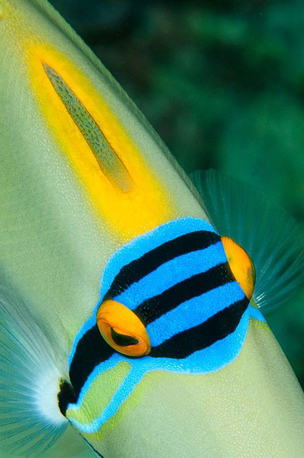 Picasso Triggerfish  by Angie Miller