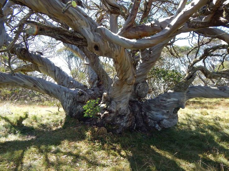 Image result for giant river gum photo