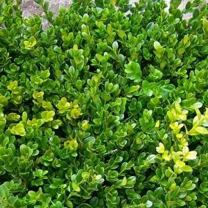 Buxus sempervirens bosso giardino piante pinterest for Bosso vaso