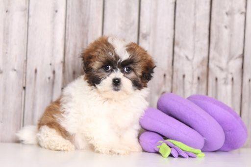 Zuchon puppy for sale in MOUNT VERNON, OH. ADN-29182 on PuppyFinder.com Gender: Female. Age: 8 Weeks Old
