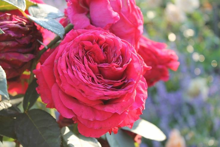 """""""Rose des 4 Vents"""" Delbard Francúzsko, 2005"""