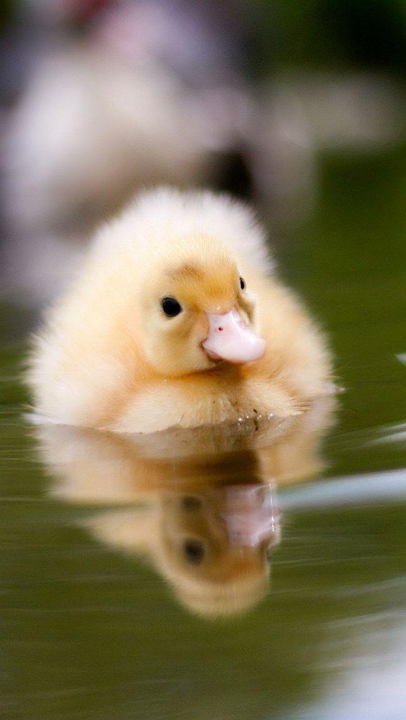 "thelordismylightandmysalvation: "" duckling_water_swim_baby_29398_640x1136 (by vadaka1986) """