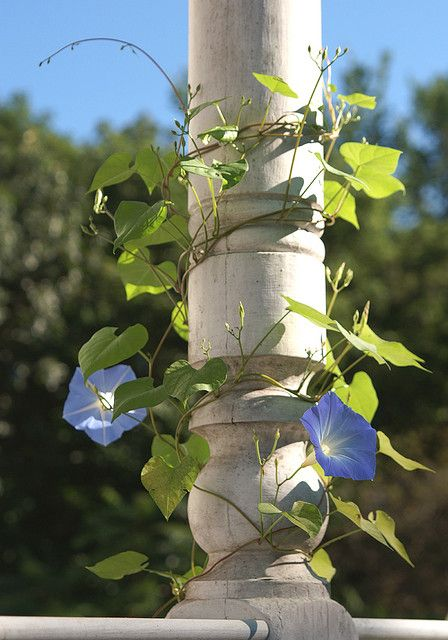 Good morning.....Morning Glory! Love Morning Glories on a porch...