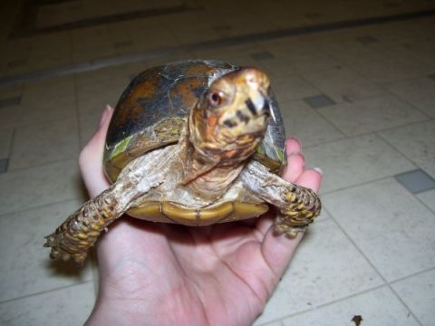 How to raise and care for a rescued box turtle.
