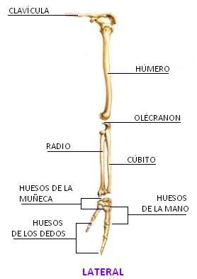 huesos+de+las+extremidades+superiores