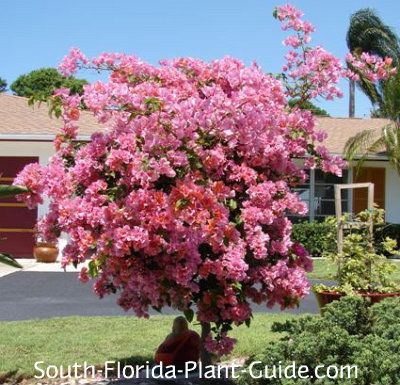 Bougainvillea Tree Bougainvillea Nothing is more breathtaking than a bougainvillea tree in full bloom, lighting up a South Florida home landscape with its spectacular color and beautiful tree shape.